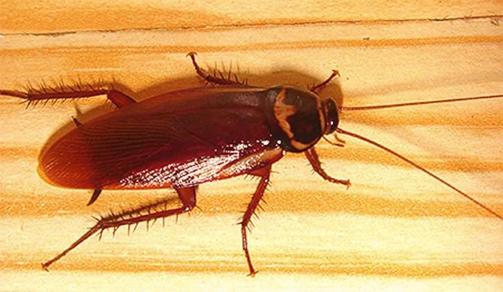 Американский таракан (лат. Periplaneta americana) – синантропный космополитический вид тараканообразных из семейства Blattidae