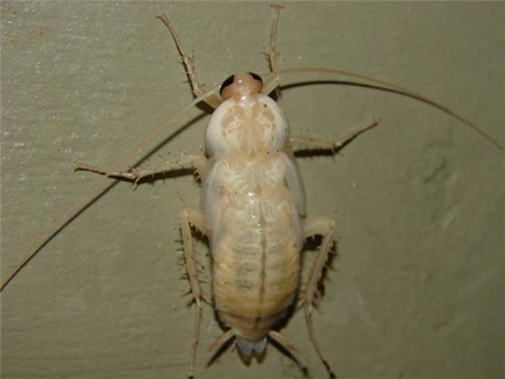 Тараканы светлого или почти белого цвета появляются из тех же самых насекомых, которые и до этого присутствовали в квартире