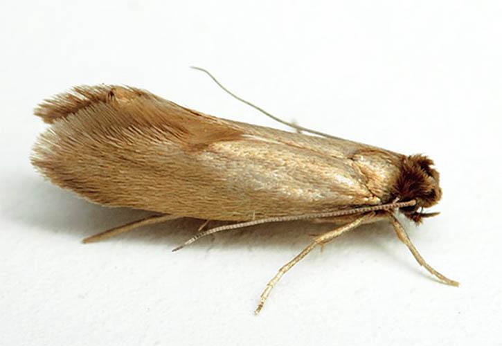 Моли обладают длинным тельцем, размеры которого редко превышают несколько миллиметров