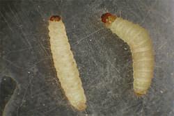 Главный вредитель – личинка пищевой моли