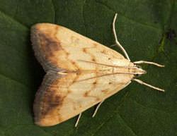 Семейство Огневки представлено огромным количеством видов мелких бабочек