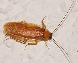 Рыжий таракан ведёт преимущественно ночной образ жизни