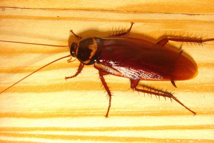 Таракановые – теплолюбивые и влаголюбивые, очень подвижные насекомые, ведущие преимущественно ночной образ жизни