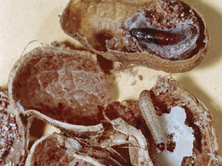 На картинке видно, как моль портит сухофрукты