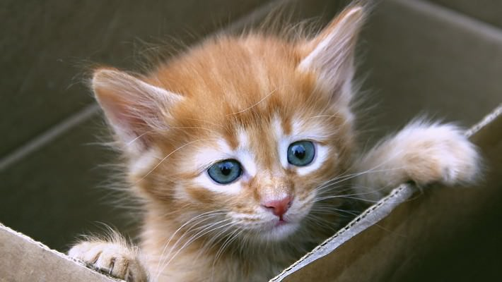 На время обработки спреем от блох, котенка отделяют от матери в отдельную коробку
