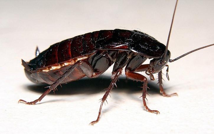 Тело у черного таракана, типичного представителя класса Насекомых, сегментированное, делится на три отдела – голову, грудь и брюшко