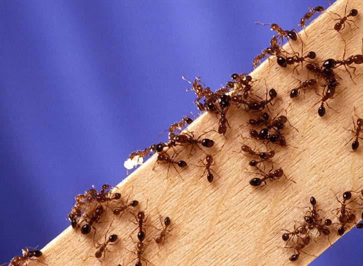 Муравьи относятся к категории общественных насекомых с четко организованным социальным строем и разделением трудовых обязанностей