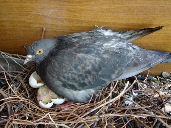 Блохи откладывают яйца в гнездах птиц и в местах скопления экскрементов, в потаенных местах
