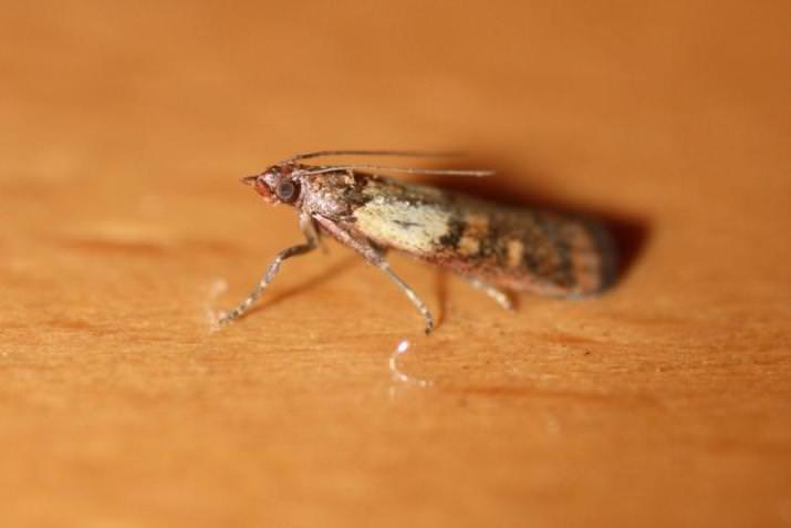 Пищевая моль очень невзрачна и выглядит как обычная бабочка небольших размеров