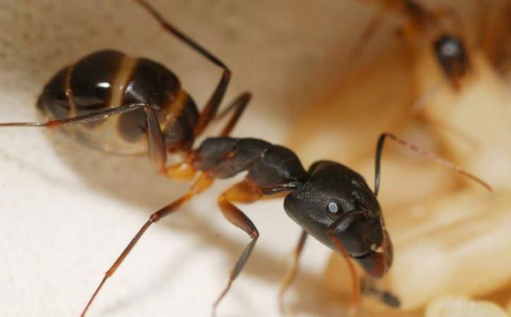 Домашние муравьи не только портят продукты, но и могут стать причиной очень опасных заболеваний человека