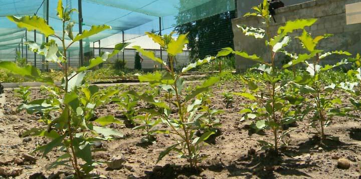 По утверждению специалистов решением проблемы нашествия тополёвой вредительницы является  селекционирование и высадка максимально устойчивых к этому вредителю сортов