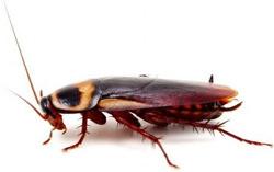 Тараканы – подотряд насекомых из отряда тараканообразных