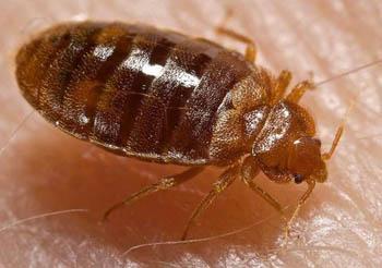 Постельный клоп - вид клопов, распространённое облигатное синантропное кровососущее насекомое