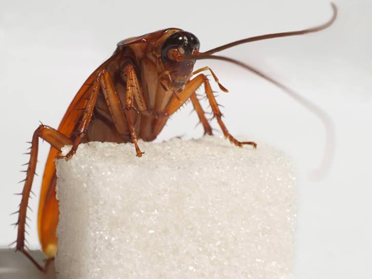 Рыжий таракан, или прусак (лат. Blattella germanica) – вид тараканов из семейства Ectobiidae