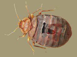 Человек зачастую не может сразу определить, найдя маленькое насекомое на постели, клоп это или нет