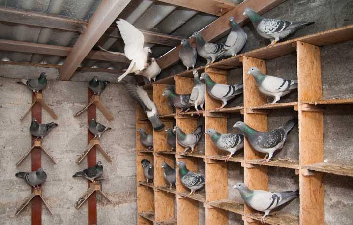 Для человека риск заразиться блохами становится выше, если на чердаке дома обосновались голуби и там много гнезд