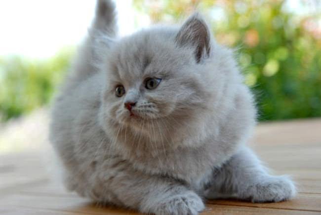 Опасны ли кошачьи блохи для человека