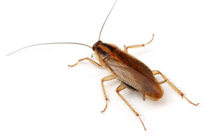 В настоящее время насчитывается более четырех тысяч видов тараканов