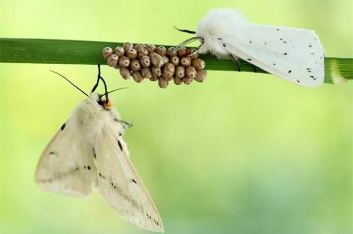 Задача моли – спариваться и откладывать яйца