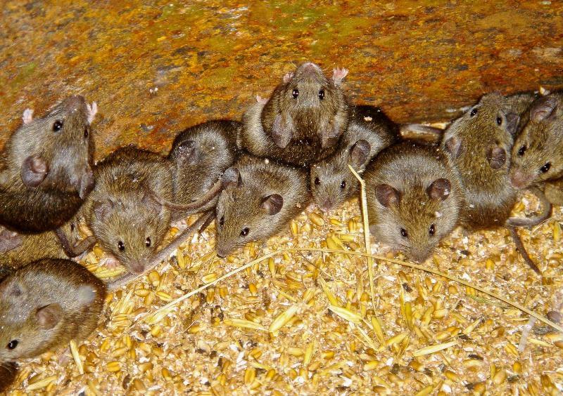 Отрава для мышей - оптимальный способ, позволяющий решить данную проблему