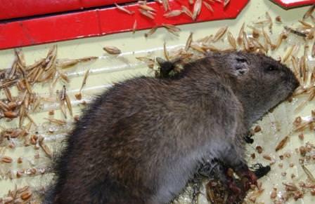 Используя специальный клей для мышей, можно избавиться от этих мелких вредителей как дома, так и на приусадебном участке