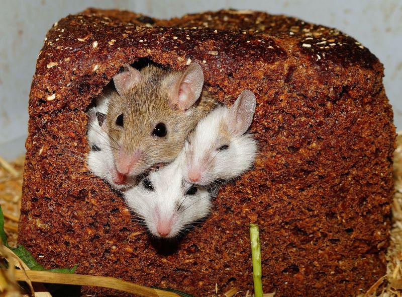 Основным преимуществом клеевых ловушек от мышей служит то обстоятельство, что останки погибших животных можно легко обнаружить и выбросить