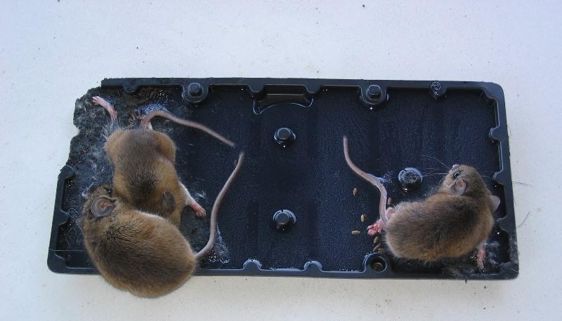 Клей от грызунов, нанесенный на специальные картонки или доски, является механическим способом борьбы с вредителями