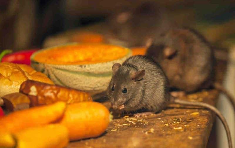 Клеевая ловушка, в составе которой помимо липкого вещества имеются привлекающие мышей препараты отравляющего свойства, совмещает механический и химический способы уничтожения грызунов