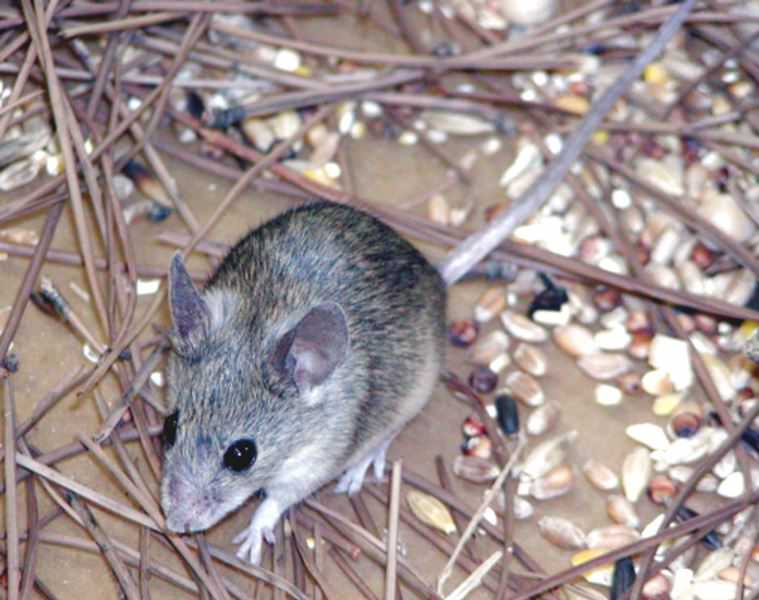 Следует знать, что если вовремя не травить крыс и мышей, результатом становится не только ощутимая порча имущества, но и вред человеческому здоровью