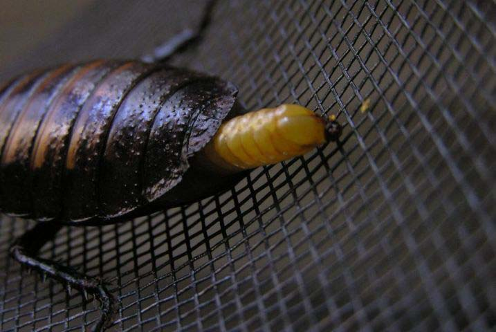 Самка вынашивает отеку в специальной сумке до тех пор, пока из яиц не образуются личинки