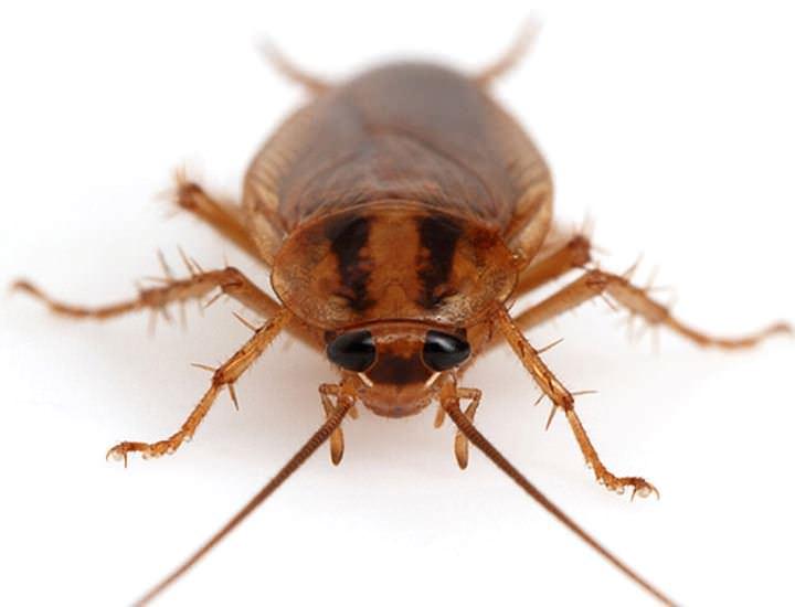 От тараканов с помощью «Дохлокс» можно избавиться за 8 часов