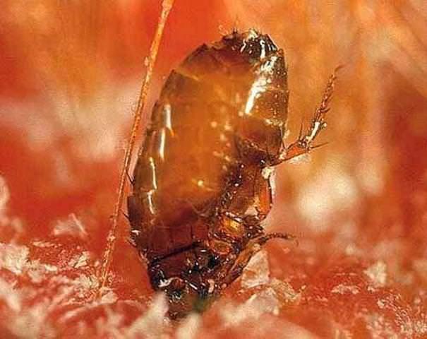 Выгнать блох из квартиры поможет инсектицидный спрей. Одного баллончика хватит на 10 квадратных метров