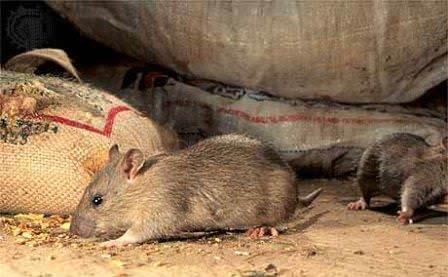 Грызуны сосуществуют с человеком на протяжении тысячелетий, и борьба с крысами и мышами порой напоминает настоящую войну на выживание