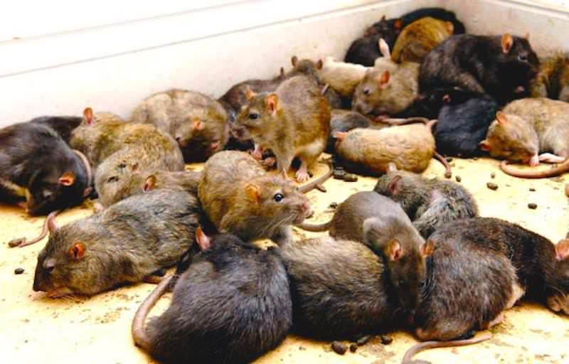 Дератизация представляет собой комплекс мероприятий, направленных на избавление от грызунов