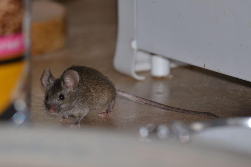 Чтобы избавиться от мышей в доме, а впрочем, и в квартире, нужно знать места обитания вредителей