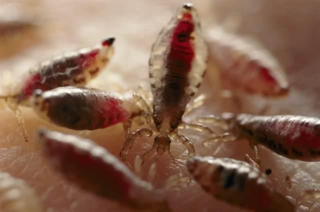 Самка паразита способна откладывать до десяти яиц (гнид) в сутки