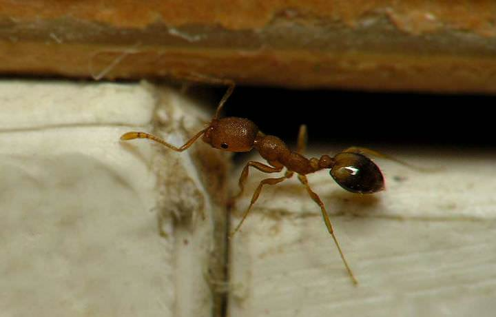 Если завелись муравьи, знайте, они пришли из подвалов или с улицы