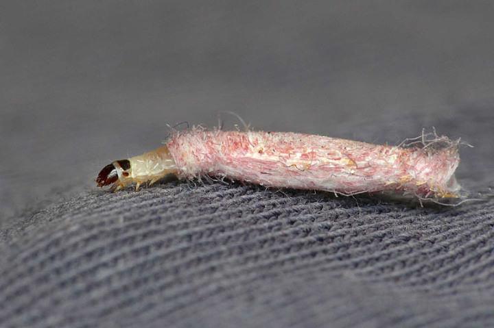 Испорченная мебель, мех, крупы – проделки гусеницы