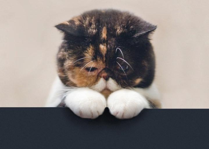 Блохи являются потенциальными переносчиками многих болезней, у кошек возрастает риск ими заразиться
