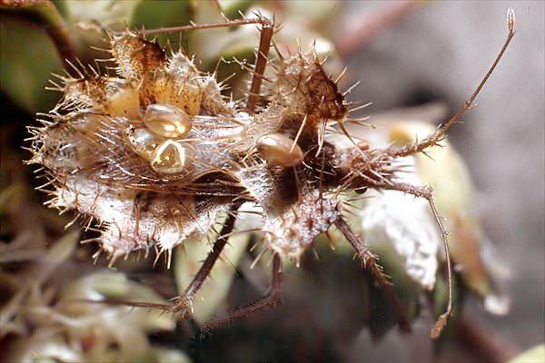 Cамка вида Phyllomorpha laciniata откладывает яйца на спину самца, где они и находятся весь период развития