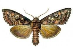 Пчелиная моль причиняет как вред, так и приносит пользу