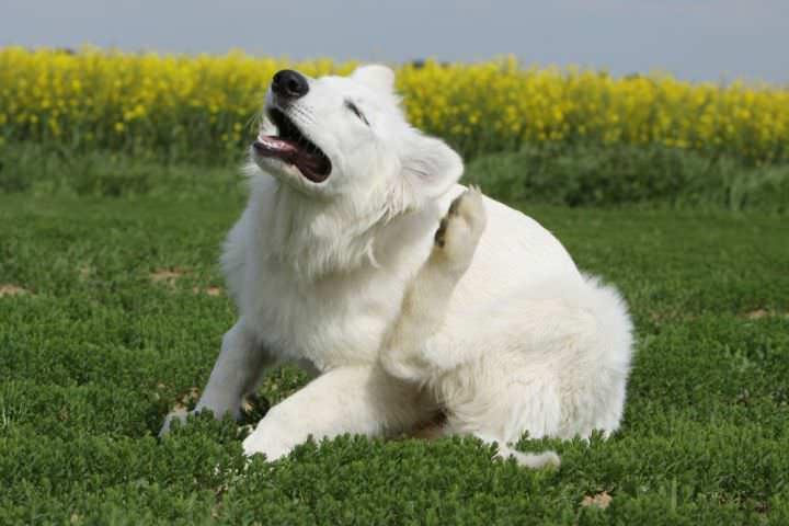 Один из признаков наличия блох – животное часто чешет все части тела