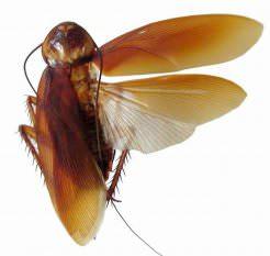 Что делать, если на балконе завелись тараканы с крыльями