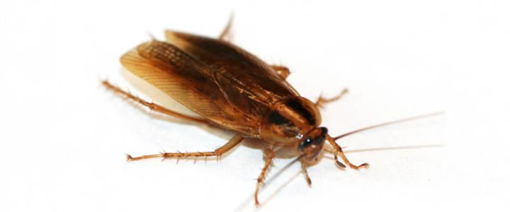 «Регент» действует от тараканов безупречно