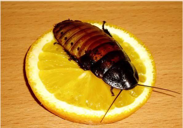 Если не будет свежих фруктов и воды, мадагаскарский таракан умирает