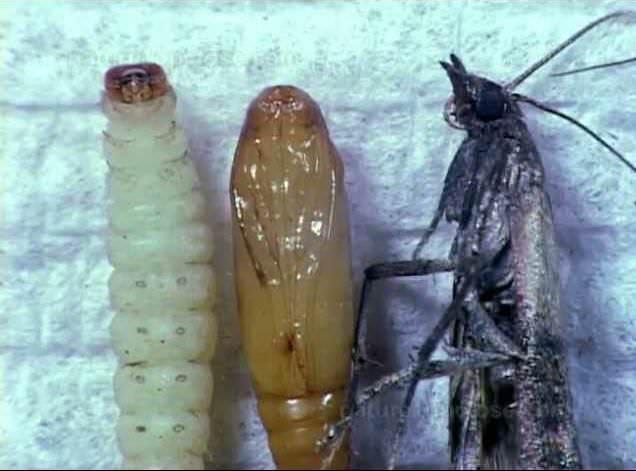 После достижения определенного размера, личинки делают кокон из паутины и превращаются в куколок
