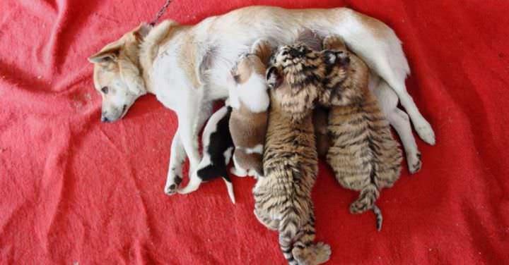 Капли «Адвокат» безопасны для беременных и кормящих собак