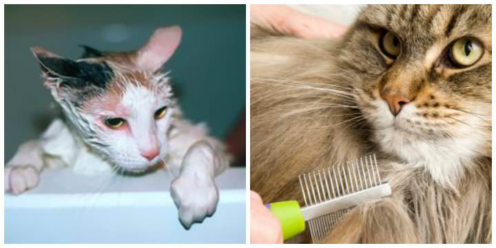 Выведение кошачьих блох у беременного животного в домашних условиях является довольно трудоёмким процессом