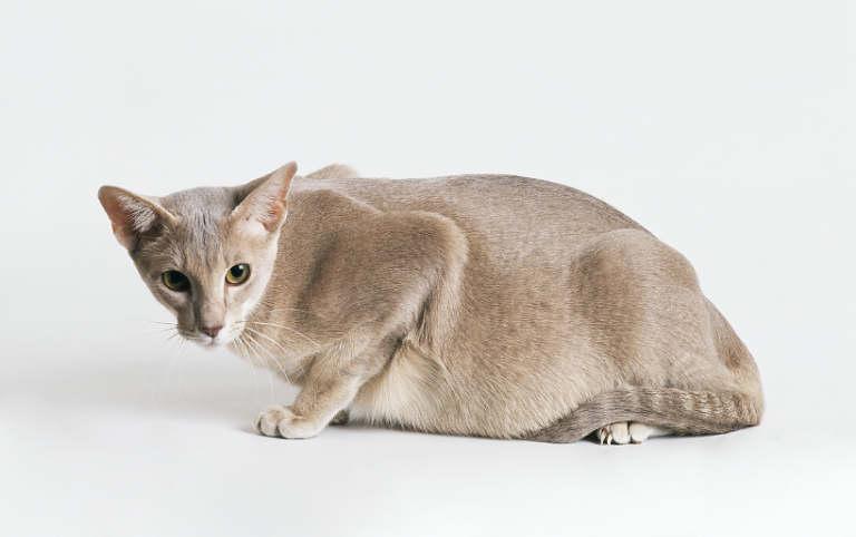 Чтобы вывести блох у беременной или кормящей кошки следует подобрать эффективный, максимально щадящий препарат