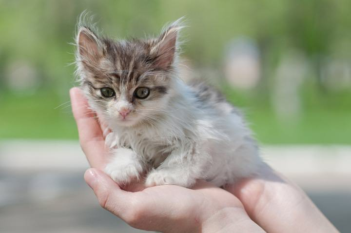 Котята имеют довольно слабую иммунную систему и намного тяжелее переносят все симптомы заболевания